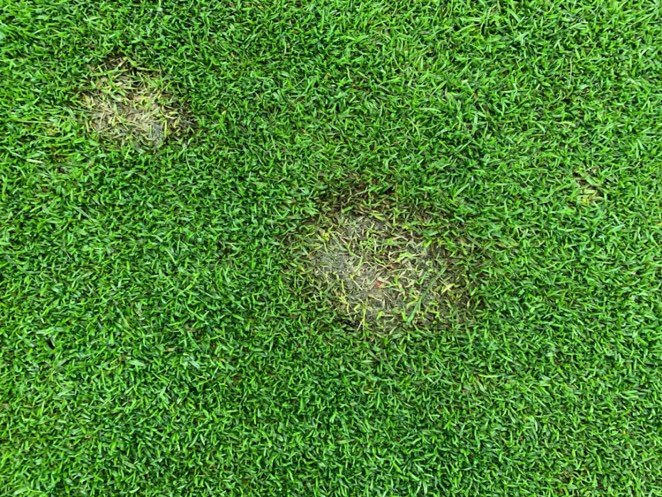 Fusarium Patch on Grass