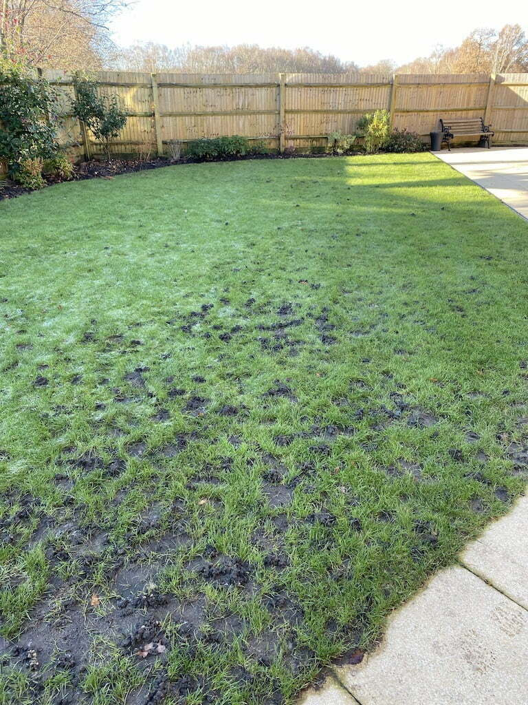 Worm casts in lawn